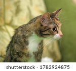 Tricolor With Red Striped Cat...