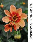 Orange Single Dahlia Happy...