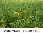 Chrysanthemums Bloom In The...