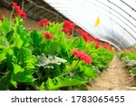 African Chrysanthemum Blooms In ...