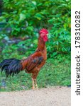 colourful rooster  american... | Shutterstock . vector #178310282