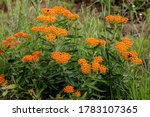 Bright orange butterfly weed which attracts the bees at Crex Meadows State Wildlife Area, Grantsburg, WI.