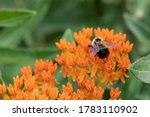 Bumblebee on an orange butterfly weed wildflower in Crex Meadows State Wildlife Area, Grantsburg, WI.