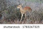 Steenbok  raphicerus campestris ...