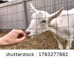 Young Goat Sniffs Hand Closeup...