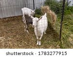 Young Goats Behind A Fence Cag...