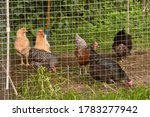 Young Chickens Behind A Fence...