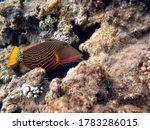 Triggerfish. Orange Feather...