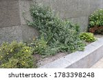 Planted in a granite flower bed, euonymus crawls along the wall - stock photo