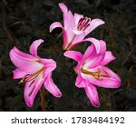 Three Red Lilies Blooming On A...