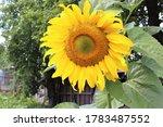 Sunflower In The Garden In...