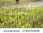 Aquatic Plants Reflected And...