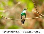 White Throated Hummingbird...