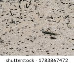 Mudskipper Fish Sunbathe On Mu...