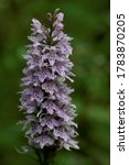 This orchid usually grows to between 20cm and 50cm tall, but specimens up to 70cm in height can sometimes be found.