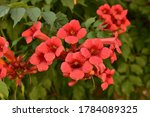 Small photo of Beautiful red flowers of the trumpet vine or trumpet creeper Campsis radicans. Campsis Flamenco bright orange flowers winding over the fence in greenery. Chinese Trumpet Creeper branches