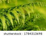Pteridium Aquilinum  Bracken ...