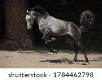 Kicking Andalusian Horse...