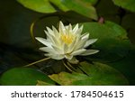 Water Lily  Nymphea Odorata   A ...