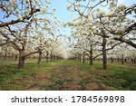The Pear Trees Blossom In Spring