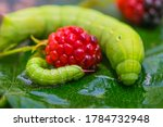 Two Green Caterpillars With...