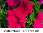 Petunia Is Of South American...