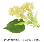 Linden Flowers Isolated On...
