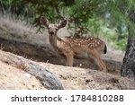 A California Mule Deer Fawn In...