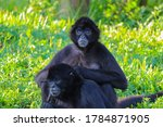 Two Spider Monkeys Hanging Out ...
