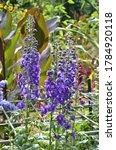 Beautiful Purple Delphinium In...