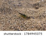 Sand Wasp Digging A Hole