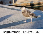 Grey Feathered Seagull Is...