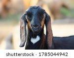 Goat In Goat Farm A Domestic...