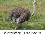 Ostriches In A Zoo  An Ostrich...