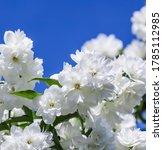 White Terry Jasmine Flowers In...