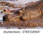 Small photo of A Hippopotamus sleeps in the fetid wallow at Ikuu in Katavi National Park. Such natural springs provide the wallows that allow hippo to survive the brutal dry season