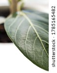 macro green benghal nsis ficus... | Shutterstock . vector #1785165482
