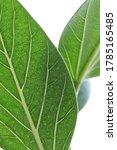 macro green benghal nsis ficus... | Shutterstock . vector #1785165485