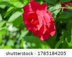 An Oklahoma Rose  Rosa Oklahoma
