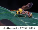 Black Back Mud Wasp Is A Commo...