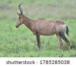 Hartebeest  alcelaphus...