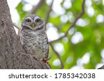 Spotted Owlet In The Hollow Of...