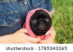 Small photo of Funny black sad pug puppy. Funny pets. Dog in a wacky outfit. Sad eyes.