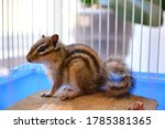 Baby Cute Siberian Chipmunk Or...