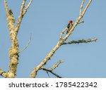 A Redheaded Woodpecker Searche...