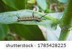 Caterpillars Are The Larval...