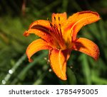 Isolated Tiger Lily Closeup...