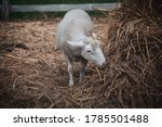 One Single Sheep Grazing Hely...