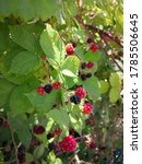 Red And Black Berries Of...