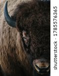 Large Bison Portrait From...